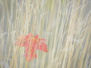 Utah, Wasatch Cache National Forest. Maple Leaf in Fall Grasses by Jaynes Gallery