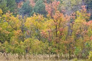 Utah, Wasatch Mountains. Autumn Maples in Logan Canyon by Jaynes Gallery