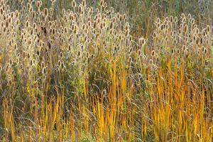 Utah, Wasatch Mountains. Teasel Weeds and Cattails by Jaynes Gallery