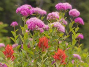 Washington, Mount Rainier National Park. Close Up of Wildflowers by Jaynes Gallery