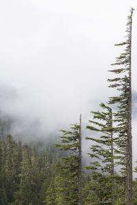 Washington, Mount Rainier National Park. Evergreen Trees in Fog by Jaynes Gallery