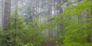 Washington, Mount Rainier National Park. Trail in Forest by Jaynes Gallery