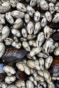 Washington, Olympic National Park. Gooseneck Barnacles and Clams by Jaynes Gallery