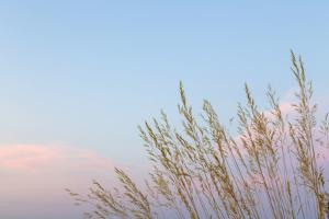 Washington, Seabeck. Grasses at Sunset by Jaynes Gallery