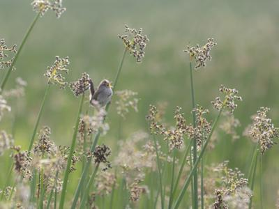 Washington State, Ridgefield National Wildlife Refuge. Marsh Wren Singing on Reed