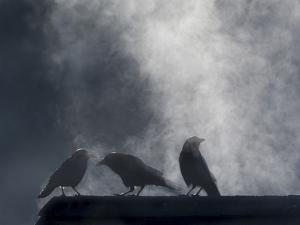 Washington State, Seabeck. Crows Backlit with Steam Coming from Sun on Roof Top by Jaynes Gallery