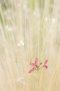 Washington State, Seabeck. Maple Tree Seed in Tall Grass by Jaynes Gallery