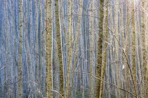 Washington State, Seabeck. Young Stand of Alder Trees in Winter by Jaynes Gallery