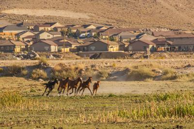 Wild Horses Running Outside Neighborhood, Reno, Nevada, USA
