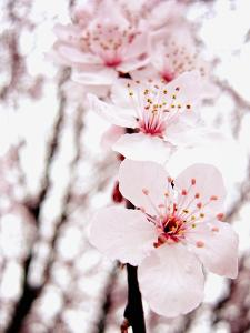 Sakura by jdphotography