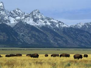 Bison and the Teton Range, Grand Teton National Park, Wyoming, USA by Jean Brooks