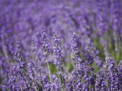 Lavender Field, Lordington Lavender Farm, Lordington, West Sussex, England, United Kingdom, Europe