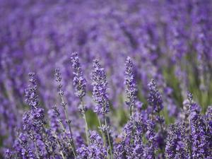 Lavender Field, Lordington Lavender Farm, Lordington, West Sussex, England, United Kingdom, Europe by Jean Brooks