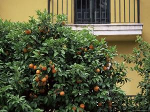 Orange Tree Outside House, Triana Quarter, Seville, Andalucia, Spain by Jean Brooks