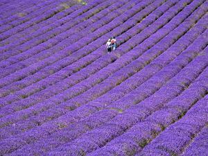 People in Lavender Field, Lordington Lavender Farm, Lordington, West Sussex, England, UK, Europe by Jean Brooks