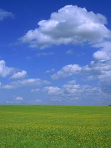 Rape Field with Blue Sky and White Clouds, Herefordshire, England, United Kingdom, Europe by Jean Brooks