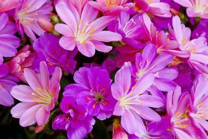 USA, Oregon. Columbian Lewisia Flowers Close-up by Jean Carter