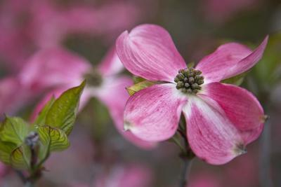 USA, Oregon. Pink Dogwood Blossom Close-up