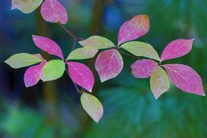 USA, Oregon, Rogue River Wilderness. Wild Dogwood Leaves in Autumn by Jean Carter