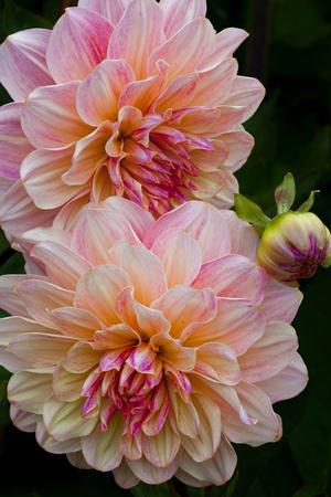 USA, Oregon, Shore Acres State Park. Close-up of Dahlia Flowers