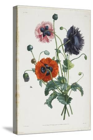 Study of Three Types of Poppies, 1805