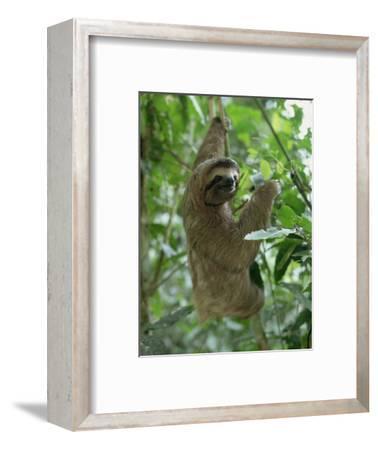 Three Toed Sloth, Manuel Antonio Park, Costa Rica, Central America