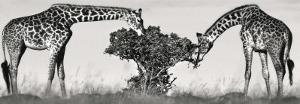Masai Giraffes by Jean-Michel Labat