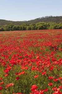 Red Popies, Provence Spring, France by Jean-Pierre Pieuchot