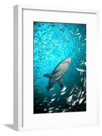 Big Raggie Swims through Baitfish Shoal