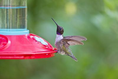 Jeff Davis County, Texas. Black Chinned Hummingbird at Feeder-Larry Ditto-Photographic Print