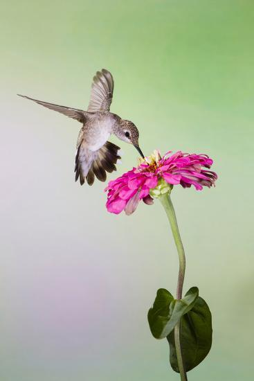 Jeff Davis County, Texas. Black Chinned Hummingbird Feeding at Zinnia-Larry Ditto-Photographic Print