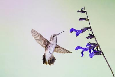 Jeff Davis County, Texas. Black Chinned Hummingbird on Penstemon-Larry Ditto-Photographic Print