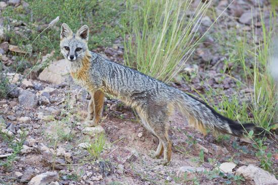 Jeff Davis County, Texas. Gray Fox Standing in Grass-Larry Ditto-Photographic Print