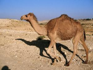 Camel, Israel by Jeff Dunn