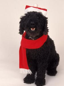 Poodle Wearing Scarf and Santa Hat by Jeff Dunn