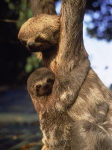 Sloths, Rio de Janeiro, Brazil by Jeff Dunn