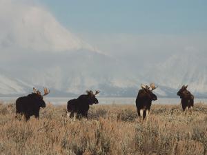 A Group of Moose Walk in a Field by Jeff Foott