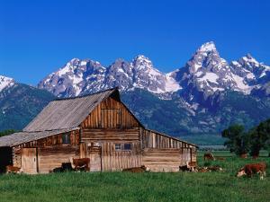 An Old Barn Sits in a Grassy Field Near the Mountains, as Cattle Graze Nearby by Jeff Foott