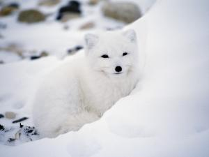 Arctic Fox Portrait by Jeff Foott