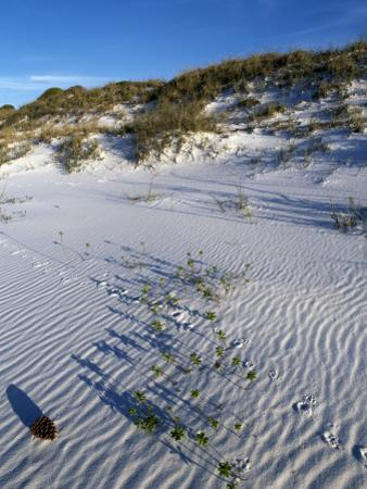 Beach Landscape with Animal Tracks and Grassy Sand Dunes, Gulf Islands National Seashore, Florida by Jeff Foott