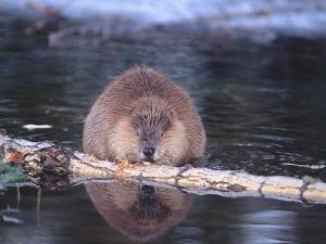 Beaver Feeds on Fallen Aspen by Jeff Foott