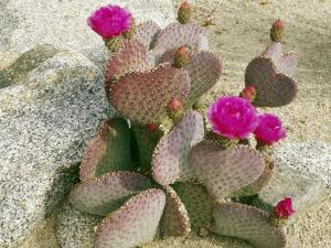 Beavertail Cactus (Opuntia Basilaris) with Heart Shaped Stems, Joshua Tree by Jeff Foott