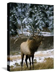 Bull Elk (Cervus Canadensis) Bugling in Rut, Yellowstone National Park, Wyoming, Usa by Jeff Foott