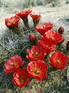 Claret Cup Cactus (Echinocereus Triglochidiatus) Flowers Blooming, Southwest, Usa by Jeff Foott