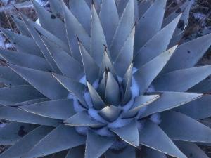 Detail of a Blue Agave in the Winter by Jeff Foott