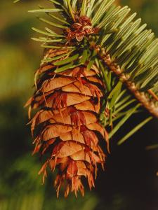Detail of a Cone Hanging from a Douglas Fir by Jeff Foott