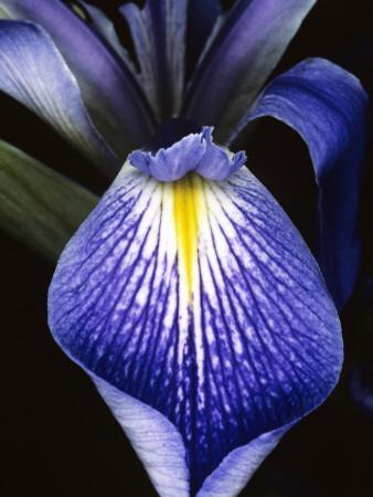 Detail of a Purple Flag Iris Flower (Iris Tridentata) in Bloom, Florida, Usa
