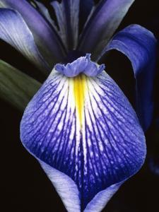 Detail of a Purple Flag Iris Flower (Iris Tridentata) in Bloom, Florida, Usa by Jeff Foott