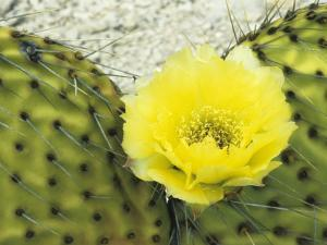 Detail of Bright Yellow Flower of a Prickly Pear Cactus (Opuntia) Isla San Francisco by Jeff Foott