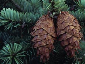 Detail of Pinecones Hanging from a Douglas Fir Tree by Jeff Foott